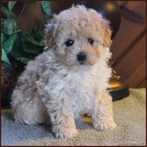 bichon yorkie mix for sale yorkie bichon puppies bichon yorkie rolling breeds picture