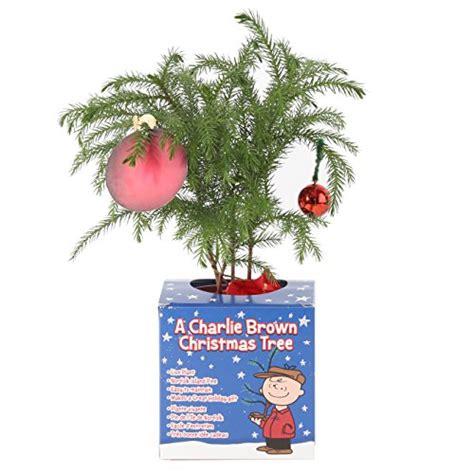 costa farms live charlie brown christmas tree norfolk