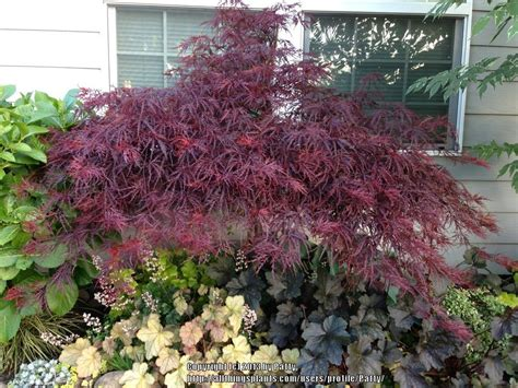 photo of the entire plant of cutleaf japanese maple acer palmatum red dragon posted by patty