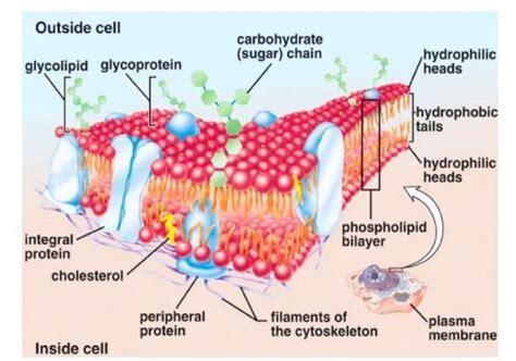 plasma membrane gateway   cell scienceaid
