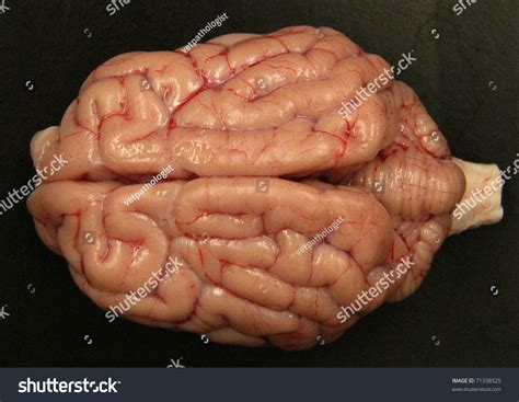 brain for dogs brain stock photo 71338525