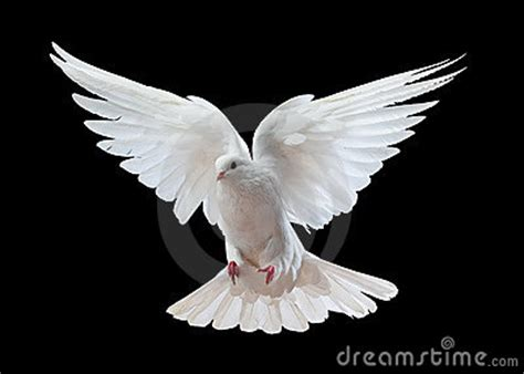 white dove  flight royalty  stock  image