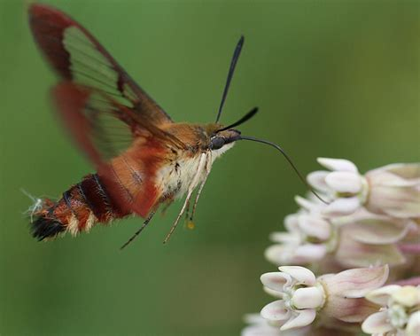 hummingbird clearwing moth naturally curious with mary