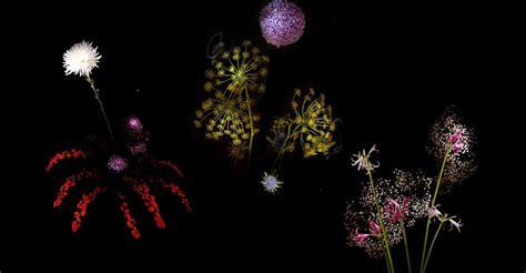 fiori d artificio sembrano fuochi pirotecnici ma in realt 224 sono quot fiori d