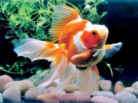 akuarium ikan mas koki design all about fish ikan koki