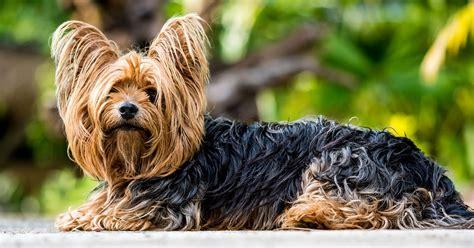yorkie fur free photo terrier terrier free image on pixabay 361730