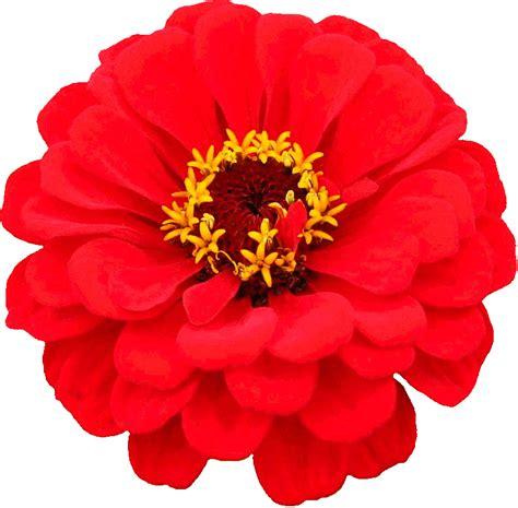 imagenes flores sin fondo flores con fondo transparente flores zinnia sin fondo