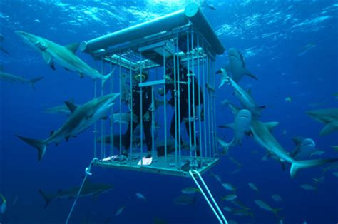how to your to stay in the cage best places to dive with sharks and how to stay safe