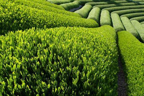Teh Hijau Cina student cus keajaiban teh hijau