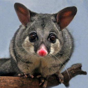 top ten possum facts and how to control them! pestwiki