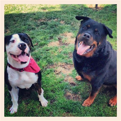 rottweiler bulldog american bulldog vs rottweiler