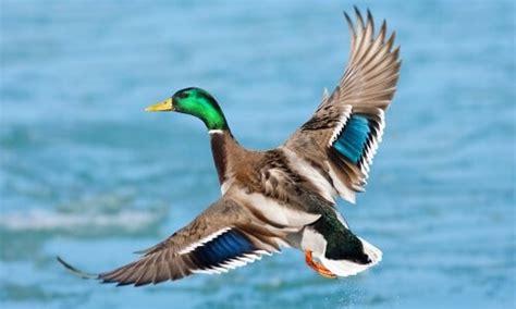 alimento para patos domesticos alimentacion pato un ave muy querida por todos