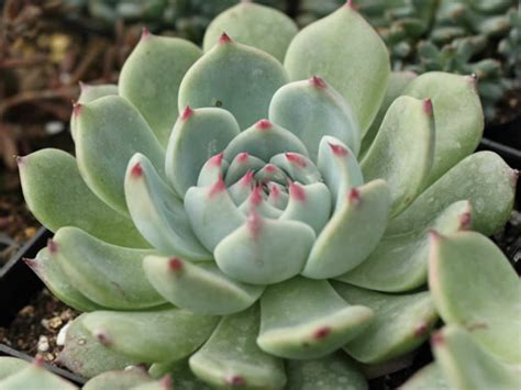 echeveria colorata world of succulents
