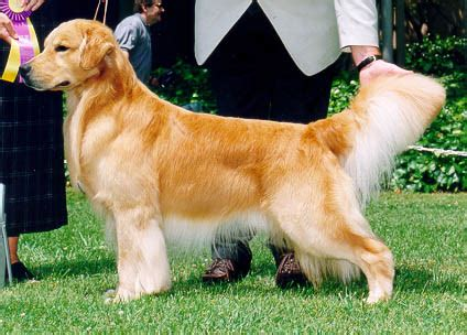 patti potter golden retrievers deli bred to cruiser