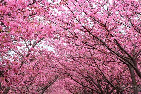 immagini fiori di ciliegio carta da parati fotomurali fiori poster murali ste