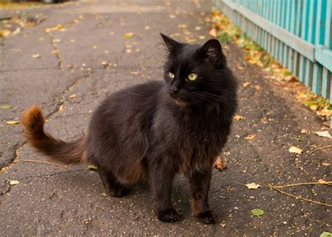 caterpillar cat nh black 8 spooky facts about black cats meowingtons