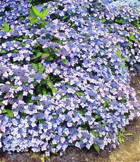 pflanzen hortensien zwerg hortensie quot koreana quot 1 pflanze g 252 nstig kaufen