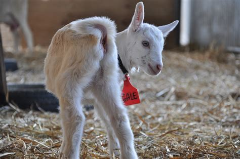 new year goat picture happy and new year from holy goat holy goat cheese