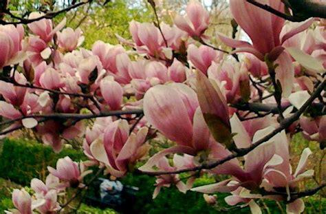 image gallery magnolia varieties