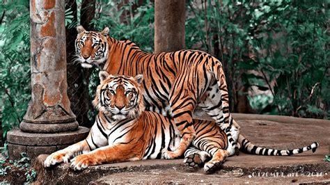Harimaun Sumatera panoramio photo of harimau sumatra by atank cakra