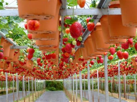 Tempat Jual Bibit Strawberry Di Bandung wisata di kebun strawberry lembang dengan konsep