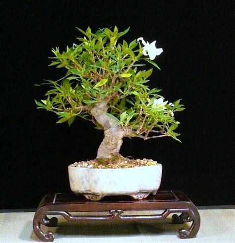 gardenia jasmine jasminoides bonsai empire