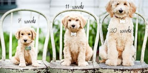 goldendoodle puppy progression progressive puppy photoshoot idea for the 1st year of
