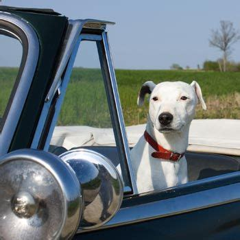 puppy gets car sick get car sick tips for traveling with a queasy stuff dogs