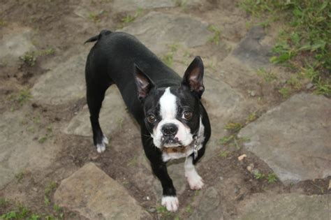 boston terrier puppies for sale in florida boston terrier puppies for sale orlando fl breeds picture