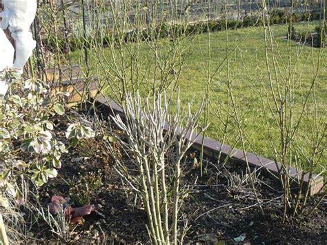 garten hibiskus schneiden mein sch 246 ner garten forum