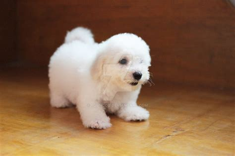 small dogs that don t grow dogs that dont shed or grow 28 images small breeds that stay small and dont shed