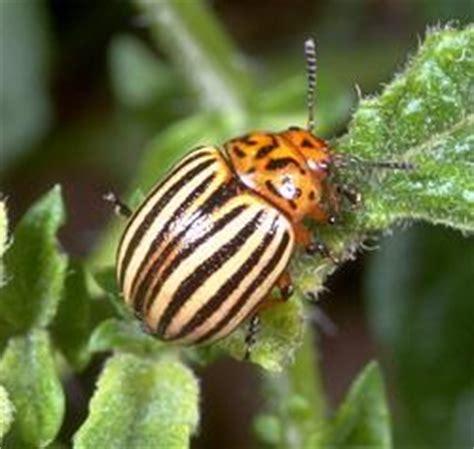 colorado potato beetle management entomology