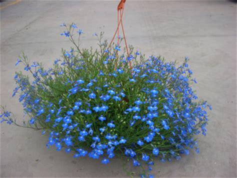 lobelia fiore lobelia fiori e piante ornamentali