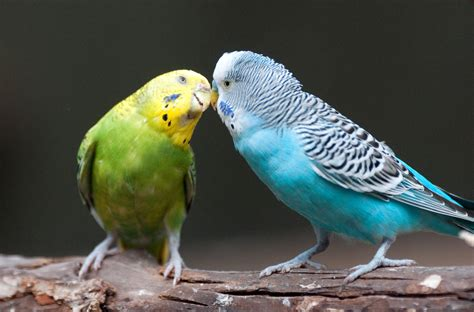 mexicanlove bird file melopsittacus undulatus fort worth zoo usa 8a jpg wikimedia commons