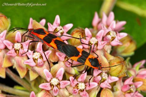 asclepias sullivantii prairie milkweed for monarch