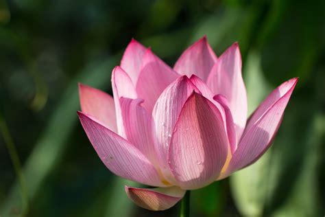 focus photography of pink lotus flower in bloom water focus photography of pink lotus flower in bloom water