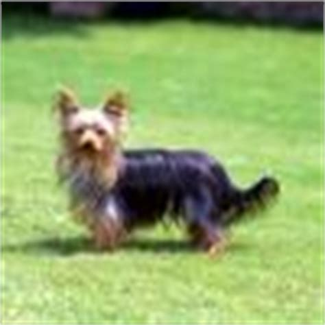 yorkie tails terrier quotes