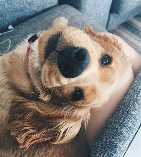 images  cute puppies  pinterest lab