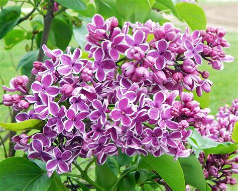 lilac tree information lilac bush facts home design