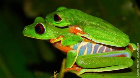 imagenes de ranitas verdes rana verde de ojos rojos agalychnis callidryas cope