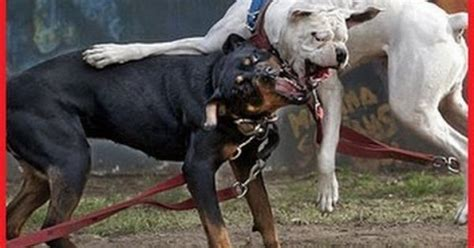 pitbull vs rottweiler rottweiler vs pitbull rottweiler vs pitbull real fight amazing f real