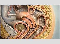 Anatomy Female Reproductive System- Ovary- Mammary Gland ... Real Ovaries