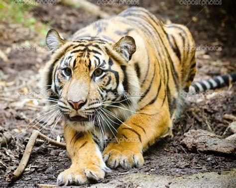 google images tiger stalking tiger google search animals pinterest