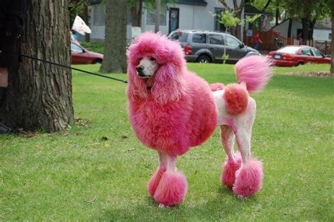 are poodles dogs poodle the chien canne breed answers