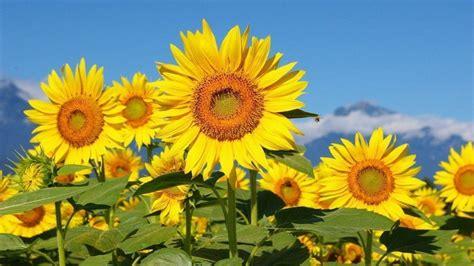 sunflower desktop wallpapers  wallpaper cave