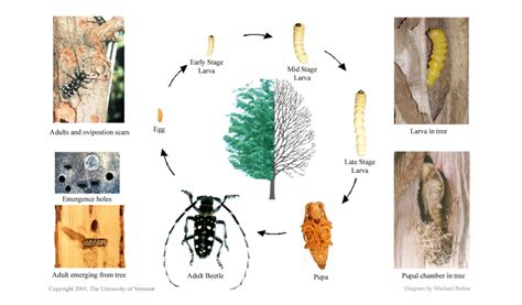 asian longhorned beetle plant heroes