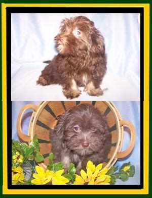 wheat state havanese photos updated 2 23 2015