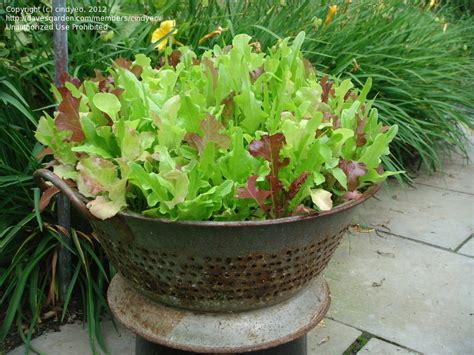 container garden lettuce specialty gardening iceberg lettuce in containers 1 by