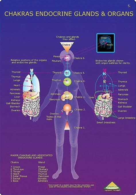 chakras endocrine glands  organs mind body