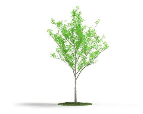 thin tree thin green leaf tree 3d model cgtrader